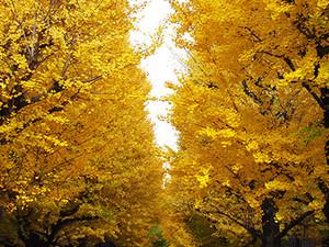 Ginkgo_trees